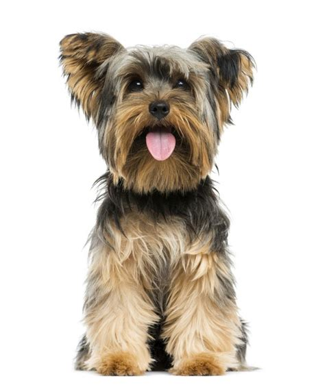 Yorkie Size 28 Images Teacup Dogs Full Grown Yorkie Size