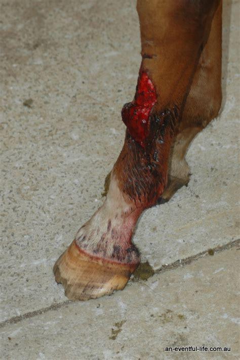 horse leg wound management eventful