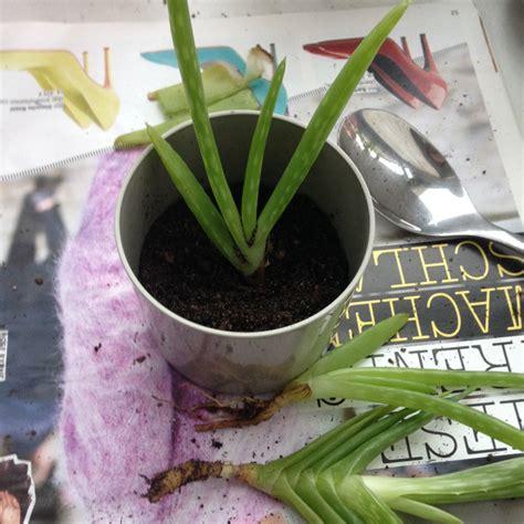 aloe vera pflanze umtopfen pflanzenliebe aloe vera umtopfen another one