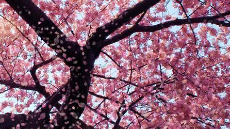 Cherry Blossom Animated Wallpaper - cherry blossom animated wallpaper