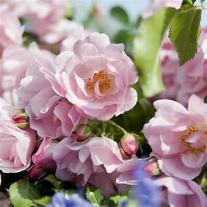Rosier Tige Pas Cher : rosiers couvre sol roses guillot ~ Dallasstarsshop.com Idées de Décoration