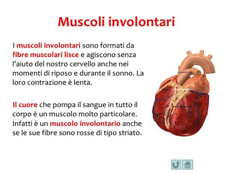 i muscoli corpo umano immagini i muscoli corpo