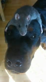 rat  dogs face luvbat