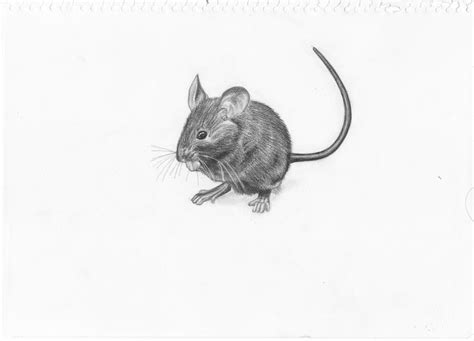 Mouse Drawing By Adonabauer On Deviantart