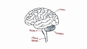 How To Draw The Human Brain