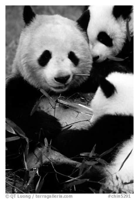 black  white picturephoto panda mom  cubs eating