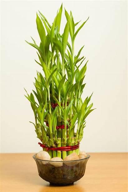 Plants Plant Bamboo Indoor Sunlight Need Lucky