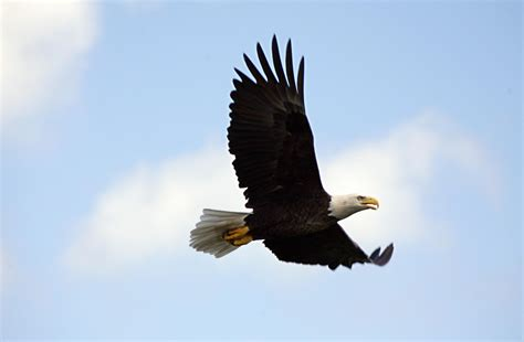 Bald Eagle Population Numbers Continue To Rise