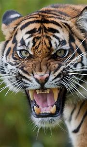 Angry tiger Burgers' Zoo | Theo Kruse | Flickr | Tiger ...