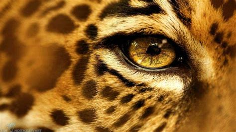 animals eyes jaguars wallpapers hd desktop  mobile