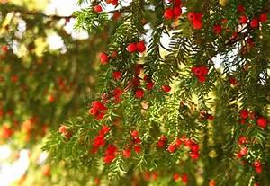 Baum Mit Roten Beeren : immergr ner baum mit roten beeren stockfoto bild von beere fr chte 30545820 ~ Markanthonyermac.com Haus und Dekorationen