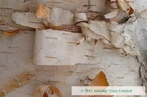 Christmas Tree Saplings Uk by Paper Birch Hedging Order Online Ashridge Nurseries