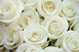 White Rose Wallpaper 20 Free Wallpaper - HdFlowerWallpaper.com