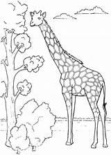 Giraffe Coloring Giraffes Colouring Fun Animals Jirafas Dibujos Sheets Drawing Jirafa Colorear Dibujo Animal Printable Girafe Adult Ausmalbilder Sheet Dessin sketch template