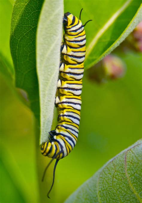 siege butterfly is milkweed really the key to saving monarchs mnn