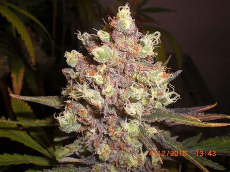 lsd poison expert seeds cannabis strain info