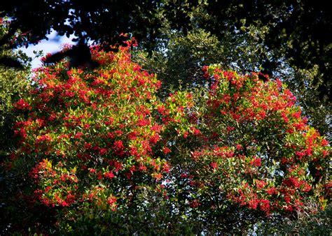 heteromeles arbutifolia plant shrub