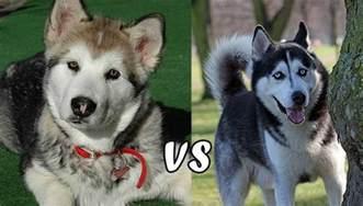 alaskan malamute vs siberian husky the important similarities and differences