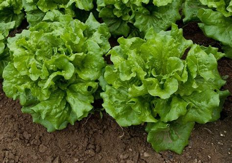 Lettuce Varieties  Learn About The Different Types Of Lettuce
