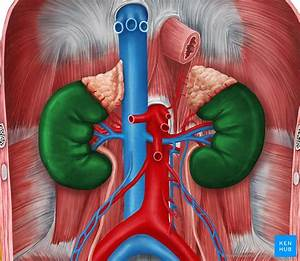 Coronal Section Of The Kidney  Anatomy And Function