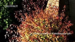 Abelia Grandiflora Kaleidoscope : abelia grandiflora 39 kaleidoscope 39 plantation et ~ Melissatoandfro.com Idées de Décoration