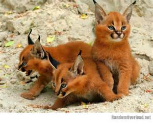 is a fox a or cat fox cats nope they re caracal kittens randomoverload