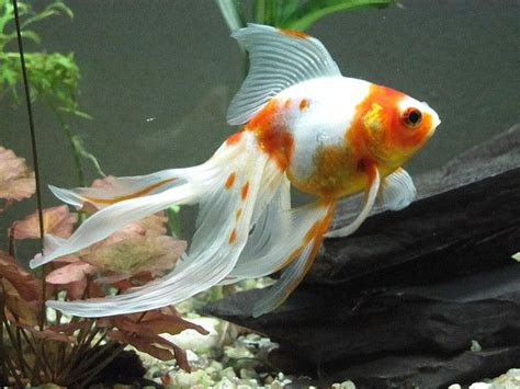 popular goldfish types  pictures exotic tropical
