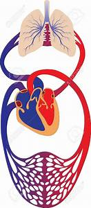 Human Cardiovascular System Clipart