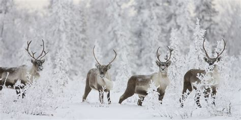 caribou wallpapers backgrounds