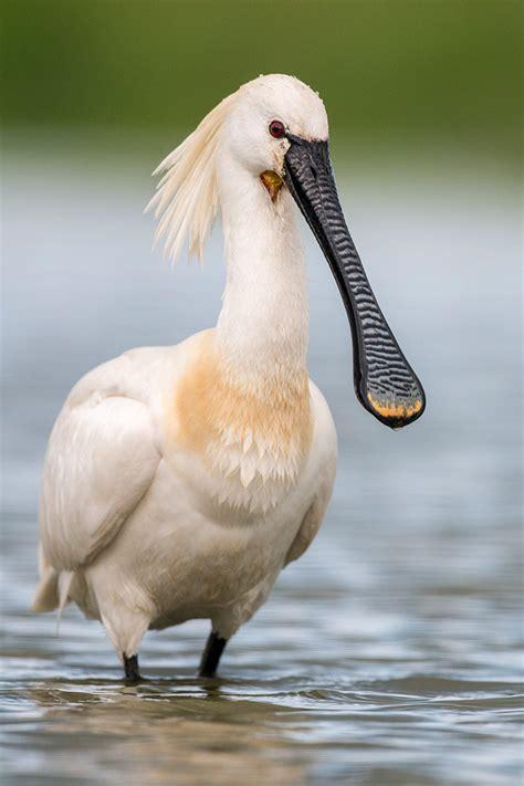 birds onlinech vogelarten schreitvoegel loeffler