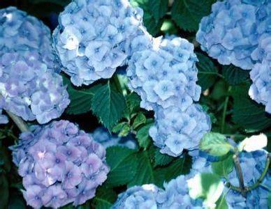 can hydrangeas be grown in pots