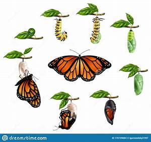 Life Cycle Of Butterfly Realistic Set Stock Vector
