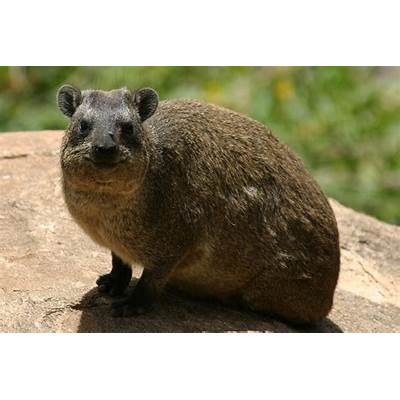 Rock Hyrax Facts History Useful Information and Amazing