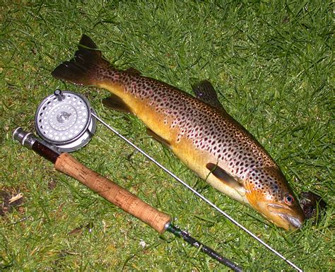 Wild Brown Trout Fly Fishing