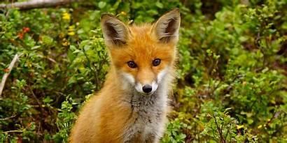 Fox Vulpes Getty