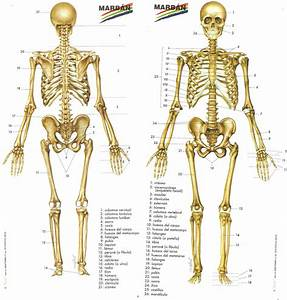20 Huesos Principales Del Cuerpo Humano