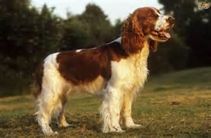 welsh springer spaniel dog breed information buying
