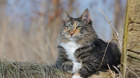 hd hintergrundbilder katze flauschige norwegische