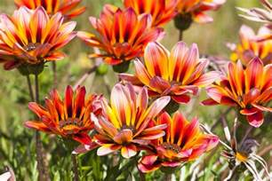 bathroom painting color ideas gazania flowers low maintenance annuals