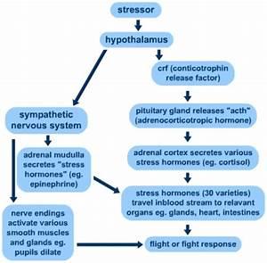 Hypothalamus Effects Towards Stress Response  See Online