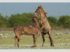 Wild Ponies Say Hello to the Locals Delft Island
