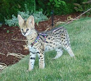 Domestic Serval - Bing images