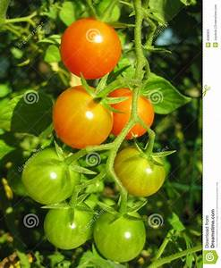 Tomatoes On The Vine 2 Stock Photos - Image: 4588303