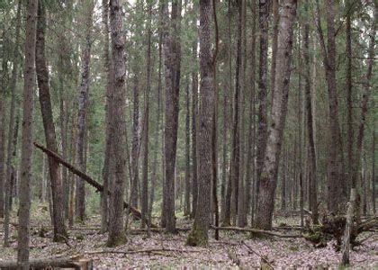 parastā apse - Populus tremula L. - Augi - Latvijas daba