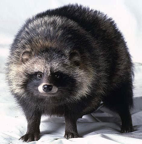 raccoon dog  night wanderer animal pictures