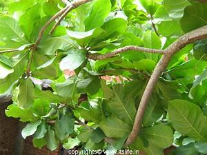 Indian Almond Tree | itslife.in