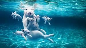 Rustine Piscine Sous L Eau : fond d 39 cran hd porc sous l eau piscine images et photos ~ Farleysfitness.com Idées de Décoration