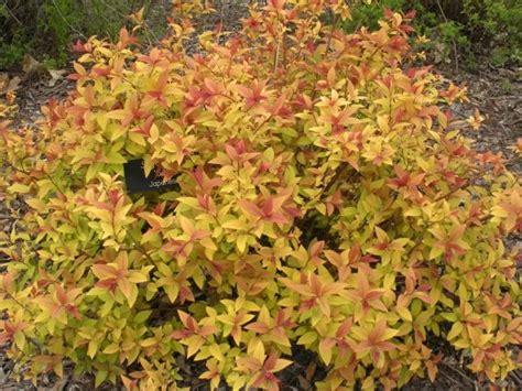 gold leaf spirea red and gold leaf shrub recherche google day lyly pinterest shrub