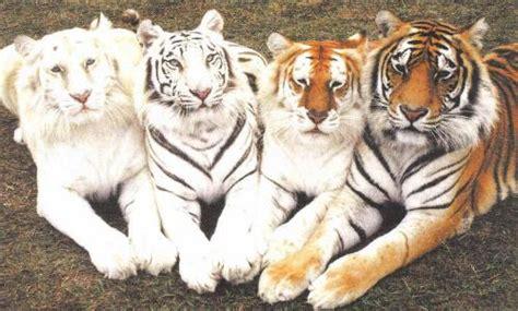 Golden Tiger Tumblr