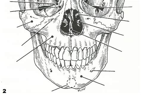 diagram of the axial skeleton human anatomy chart